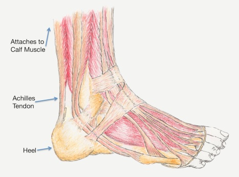 illustration of Achilles Tendon posted by Arun Shanbhag